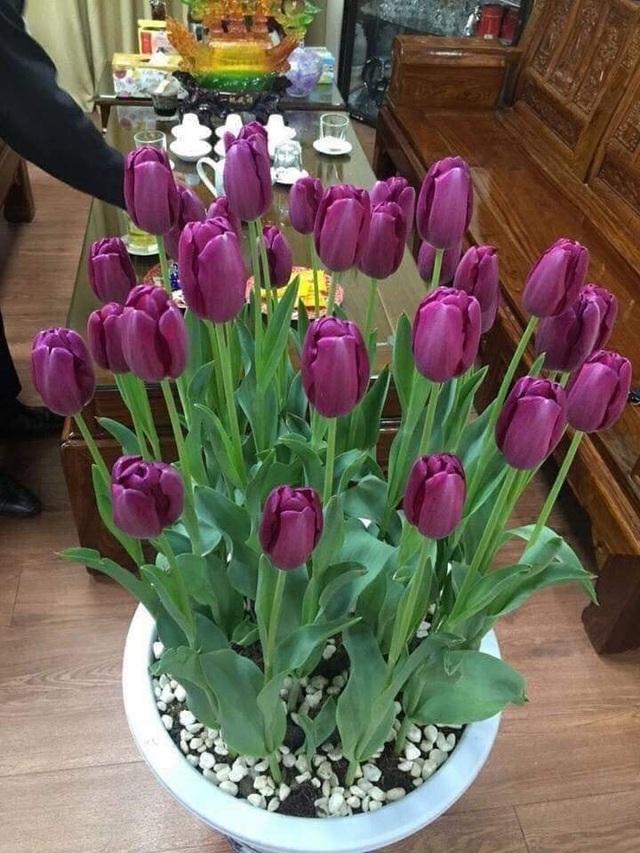 Trồng hoa tulip bán dịp Tết mang lại lợi nhuận kinh tế cao - 2