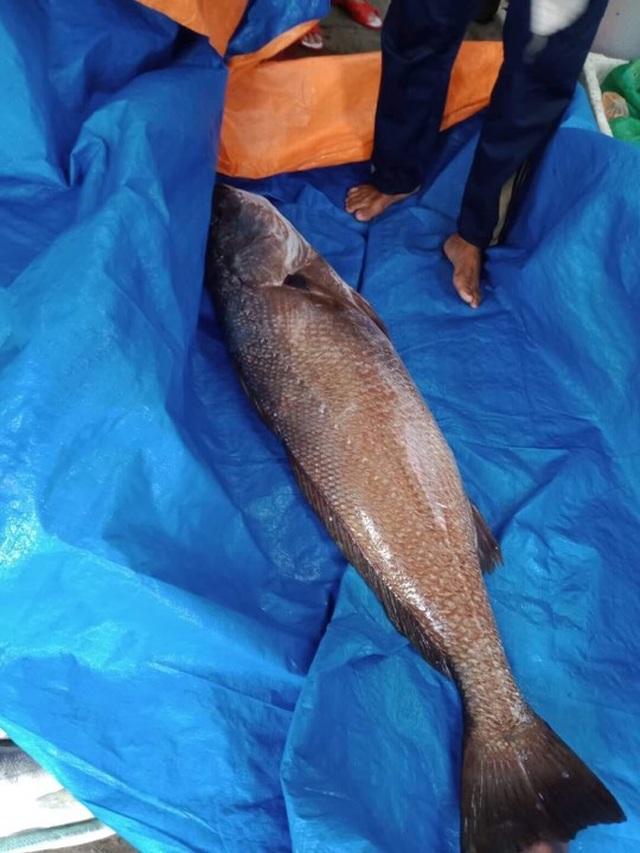 Ngư dân Quảng Nam câu được cá nghi sủ vàng quý hiếm nặng hơn 10kg