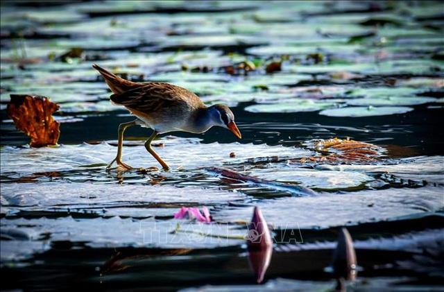 Mùa chim di trú trên đầm Vân Long, Ninh Bình - 3