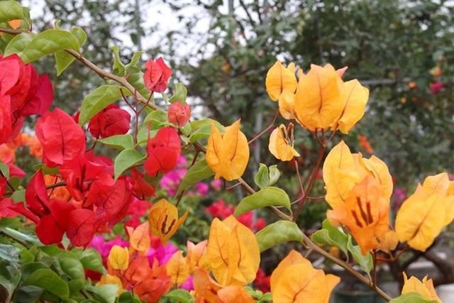 Rực rỡ loài hoa giấy ngũ sắc nhiều đại gia săn tìm chơi Tết - 10