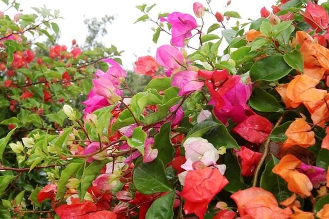 Rực rỡ loài hoa giấy ngũ sắc nhiều đại gia săn tìm chơi Tết - 4