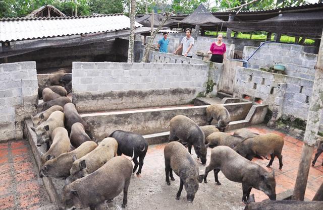 Giữa lúc giá lợn leo thang, nuôi lợn rừng bán 1 con lãi 1 chỉ vàng - 2