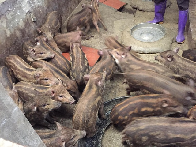 Giữa lúc giá lợn leo thang, nuôi lợn rừng bán 1 con lãi 1 chỉ vàng - 3