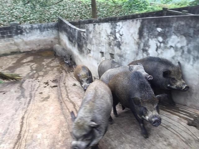 Giữa lúc giá lợn leo thang, nuôi lợn rừng bán 1 con lãi 1 chỉ vàng - 4