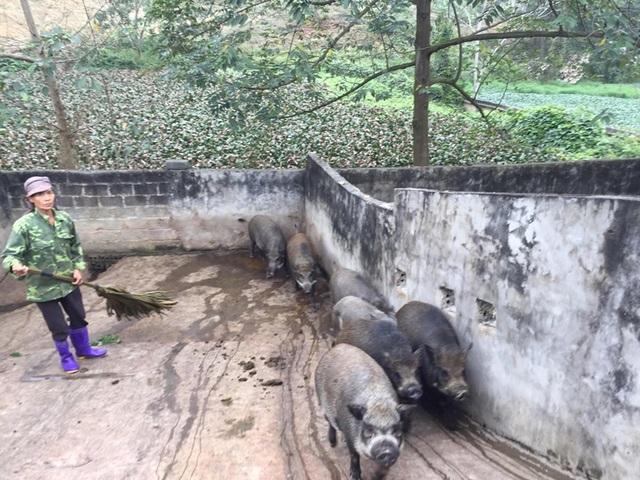 Giữa lúc giá lợn leo thang, nuôi lợn rừng bán 1 con lãi 1 chỉ vàng - 5