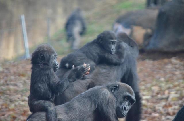 """Chú gorilla trở thành ngôi sao mạng xã hội nhờ sở hữu """"ngón tay người"""" - 8"""
