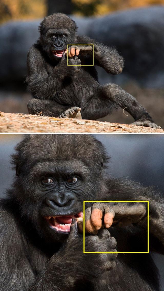 """Chú gorilla trở thành ngôi sao mạng xã hội nhờ sở hữu """"ngón tay người"""" - 6"""
