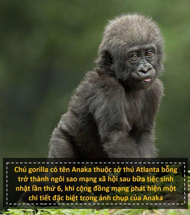 """Chú gorilla trở thành ngôi sao mạng xã hội nhờ sở hữu """"ngón tay người"""" - 1"""