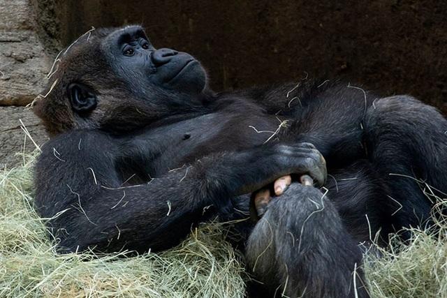 """Chú gorilla trở thành ngôi sao mạng xã hội nhờ sở hữu """"ngón tay người"""" - 9"""