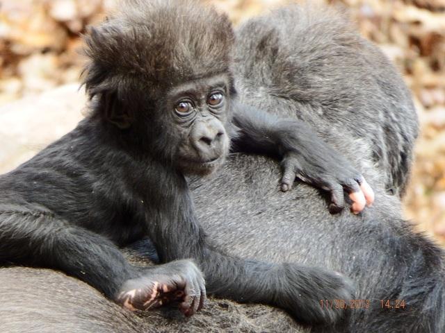 """Chú gorilla trở thành ngôi sao mạng xã hội nhờ sở hữu """"ngón tay người"""" - 7"""