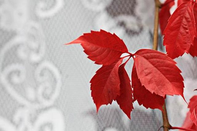 Viên uống Trĩ Trilado - Lá nho đỏ nhập khẩu từ Thụy Sỹ - 2