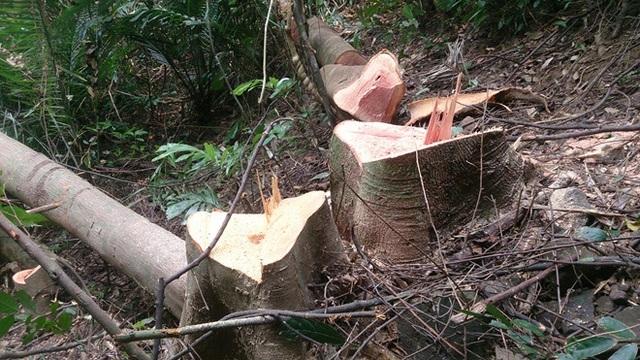 Để xảy ra phá rừng, Hạt trưởng Kiểm lâm bị giáng chức - 1