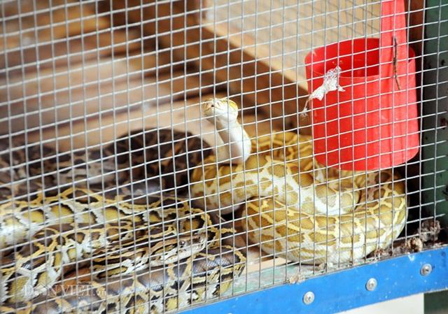 Đột nhập trại nuôi la liệt loài trăn đột biến khủng ở miền Tây - 3