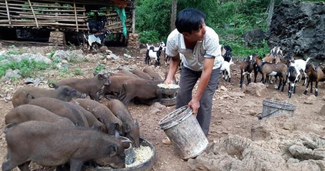 Bão giá thịt lợn: Bán một con thu nửa cây vàng, lợn rừng mỗi con lãi cả chỉ - 1