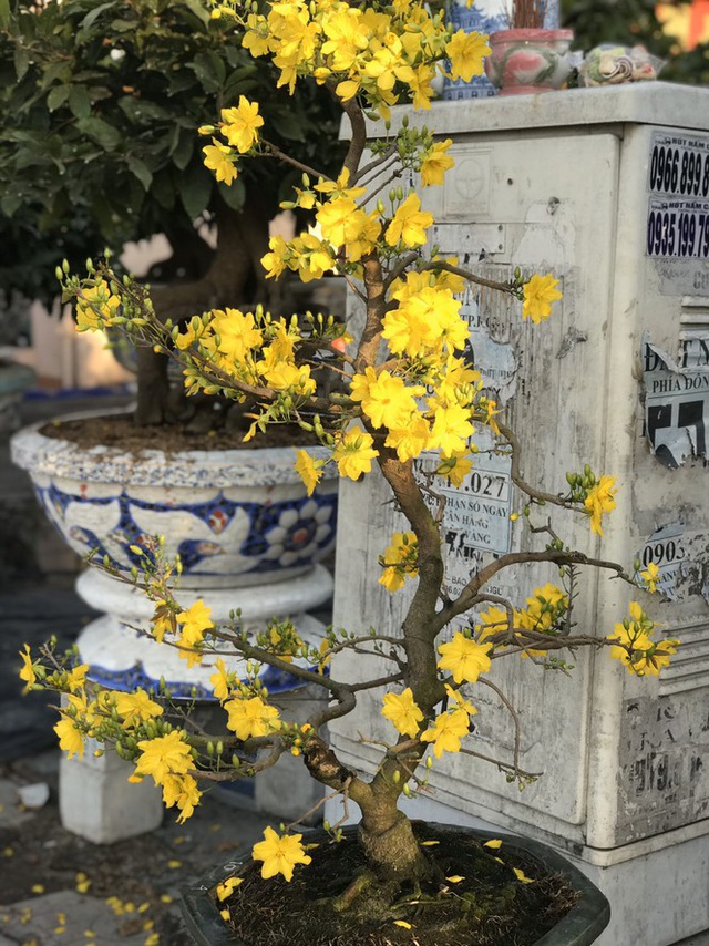 Mai vàng, hoa Tết nhộn nhịp xuống phố - 11