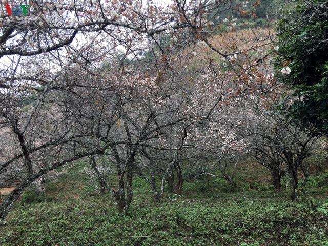 Lên Tây Bắc ngắm rừng mơ hoa nở trắng ngần cuối đông - 11