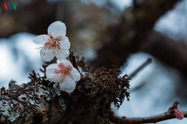 Lên Tây Bắc ngắm rừng mơ hoa nở trắng ngần cuối đông - 3