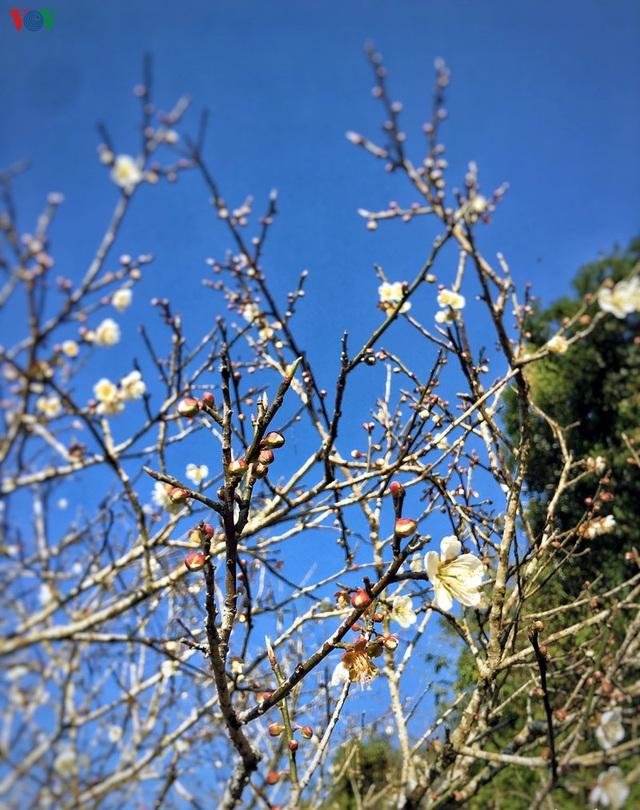 Lên Tây Bắc ngắm rừng mơ hoa nở trắng ngần cuối đông - 5