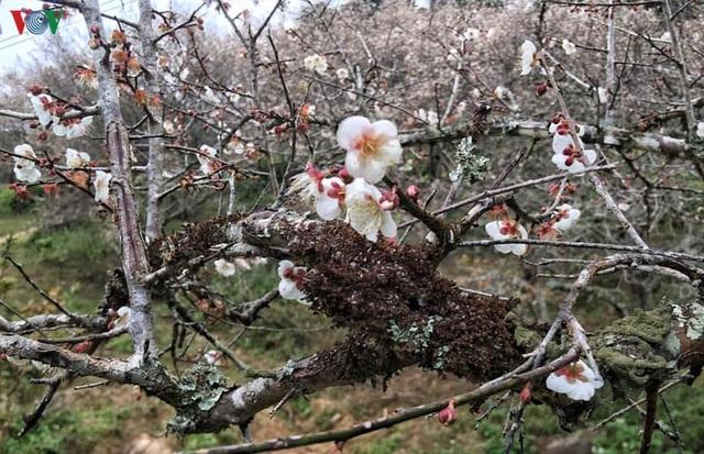 Lên Tây Bắc ngắm rừng mơ hoa nở trắng ngần cuối đông - 7