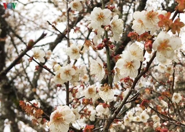 Lên Tây Bắc ngắm rừng mơ hoa nở trắng ngần cuối đông - 8