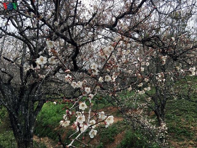 Lên Tây Bắc ngắm rừng mơ hoa nở trắng ngần cuối đông - 9