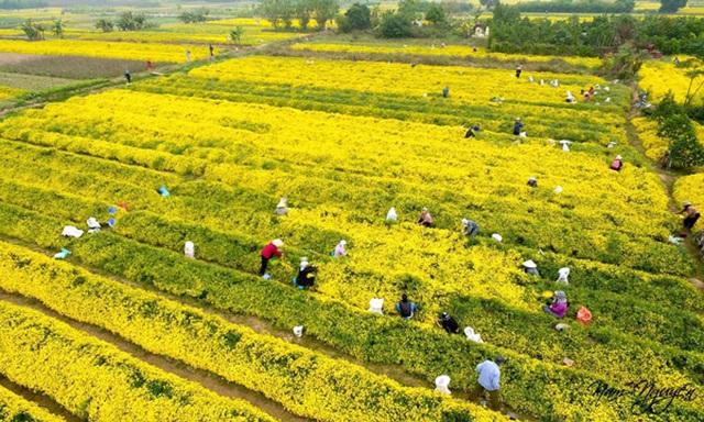 Hái hoa cúc về sấy khô, mỗi kg bán giá lên đến 800 nghìn đồng - 1