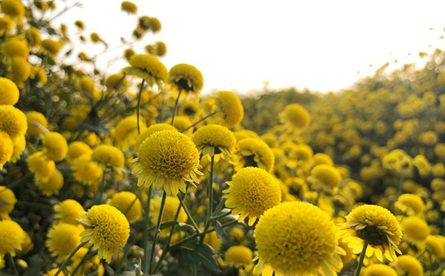 Hái hoa cúc về sấy khô, mỗi kg bán giá lên đến 800 nghìn đồng - 2