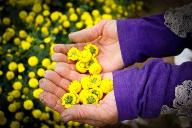 Hái hoa cúc về sấy khô, mỗi kg bán giá lên đến 800 nghìn đồng - 3
