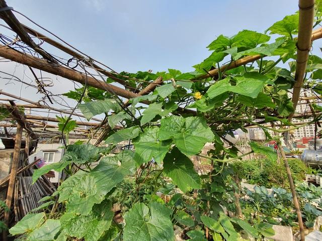 """Độc đáo """"nông trại"""" trồng rau, nuôi gà trên sân thượng, giữa lưng trời ở Hà Nội - 5"""