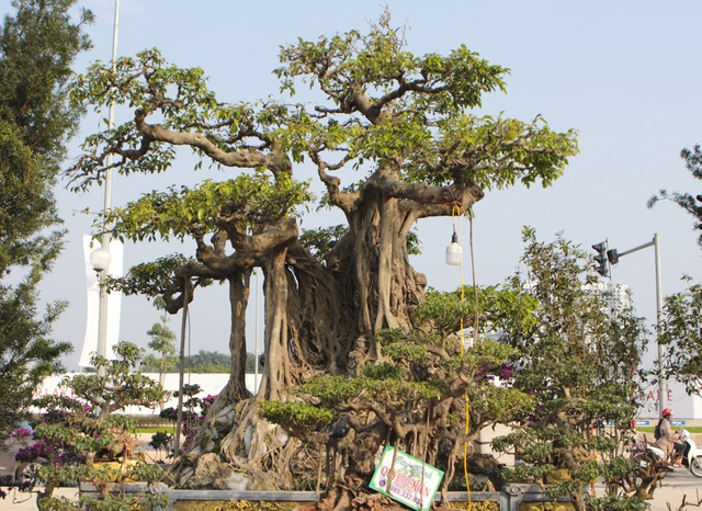 Cận cảnh cây Sanh lá móng có giá 2,5 tỷ đồng ở Hà Nội - 1