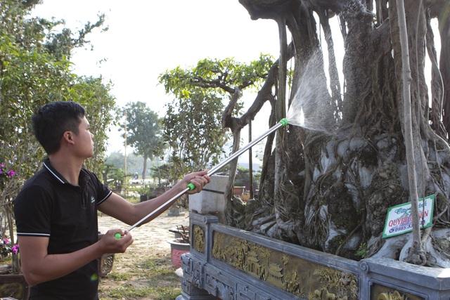 Cận cảnh cây Sanh lá móng có giá 2,5 tỷ đồng ở Hà Nội - 2
