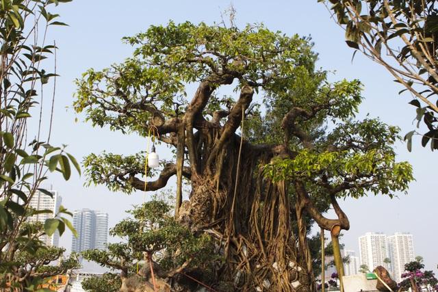 Cận cảnh cây Sanh lá móng có giá 2,5 tỷ đồng ở Hà Nội - 11