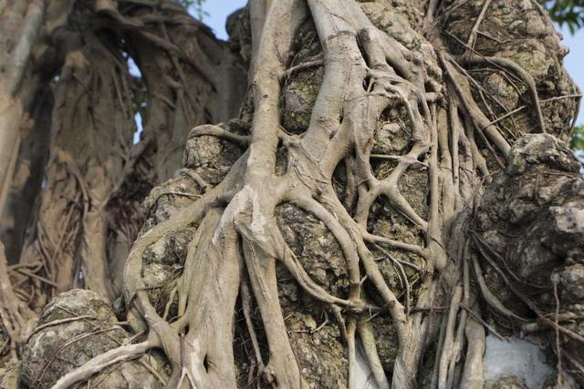 Cận cảnh cây Sanh lá móng có giá 2,5 tỷ đồng ở Hà Nội - 10