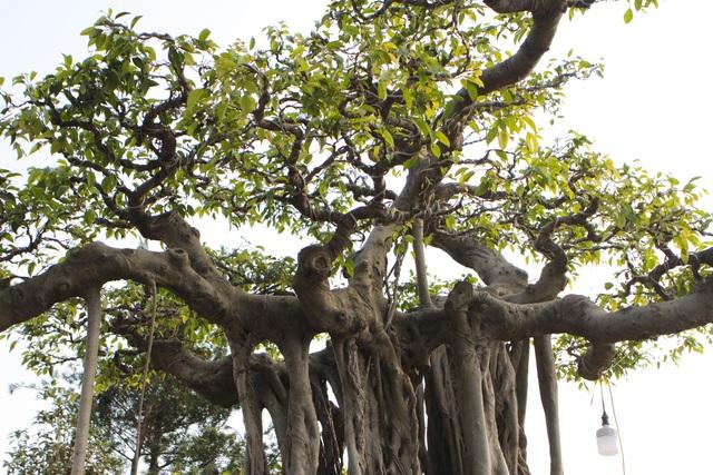 Cận cảnh cây Sanh lá móng có giá 2,5 tỷ đồng ở Hà Nội - 3
