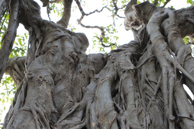 Cận cảnh cây Sanh lá móng có giá 2,5 tỷ đồng ở Hà Nội - 4