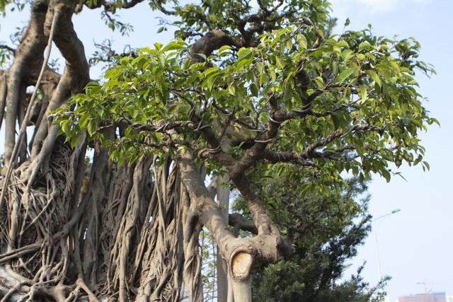 Cận cảnh cây Sanh lá móng có giá 2,5 tỷ đồng ở Hà Nội - 6
