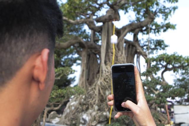 Cận cảnh cây Sanh lá móng có giá 2,5 tỷ đồng ở Hà Nội - 8