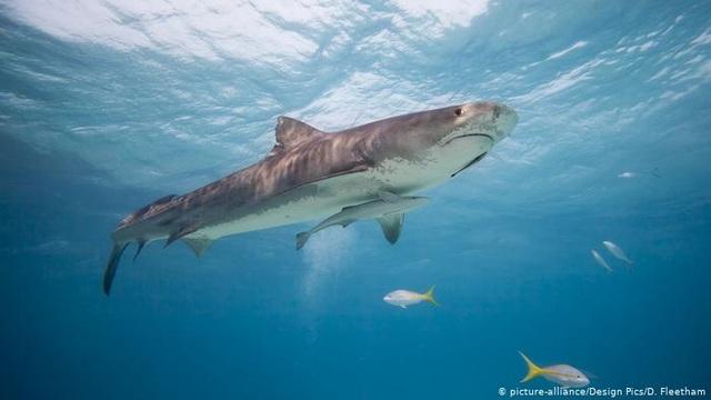 Tìm thấy thi thể người trong bụng cá mập hổ - 2