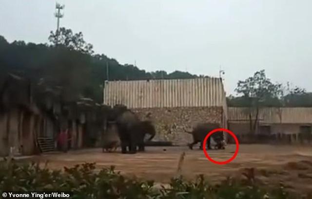 Kinh hoàng voi điên giẫm chết nhân viên sở thú Trung Quốc - 1