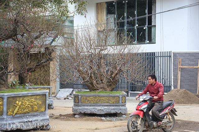 Hà Nội xuất hiện gốc đào khủng có giá cho thuê 100 triệu đồng dịp Tết - 1