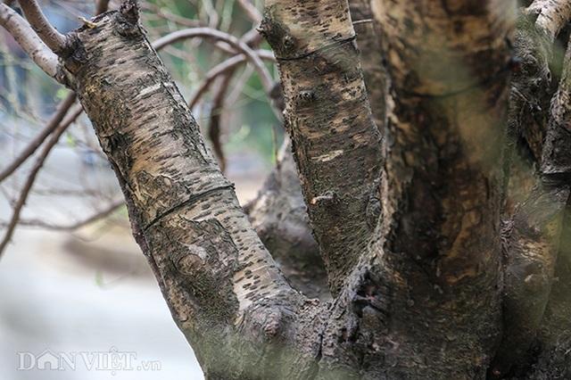 Hà Nội xuất hiện gốc đào khủng có giá cho thuê 100 triệu đồng dịp Tết - 5