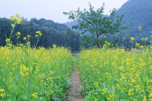 Vườn hoa cải rực vàng đẹp mê hồn khiến du khách nao lòng ở Thung Nham - 3