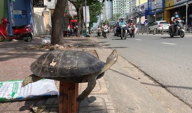 Cuối năm 1 con rùa to khổ sở vì bị bày bán công khai trên phố - 1