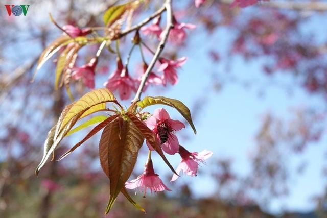 Hoa đào bừng sáng trời đông Mù Cang Chải - 10