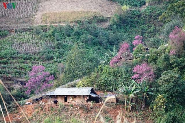 Hoa đào bừng sáng trời đông Mù Cang Chải - 12