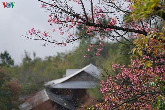 Hoa đào bừng sáng trời đông Mù Cang Chải - 13