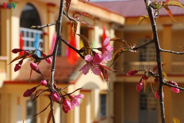 Hoa đào bừng sáng trời đông Mù Cang Chải - 15