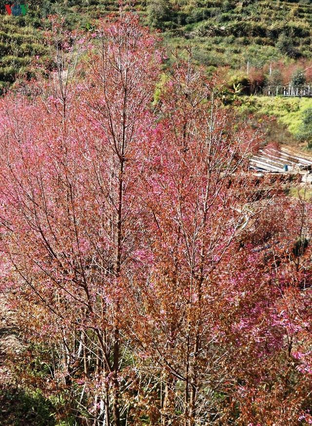 Hoa đào bừng sáng trời đông Mù Cang Chải - 17
