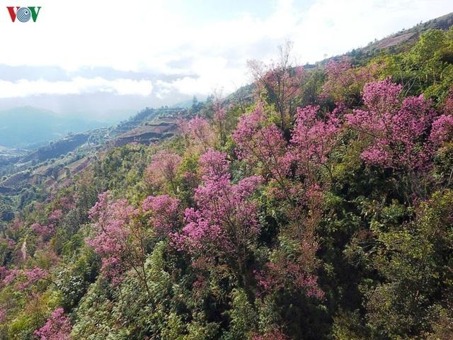 Hoa đào bừng sáng trời đông Mù Cang Chải - 2