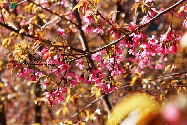 Hoa đào bừng sáng trời đông Mù Cang Chải - 3